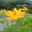キバナコスモスと紅葉葵の花