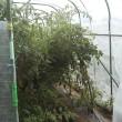 8月20日・雨除けハウス内トマト撤収&ドローン室内練習