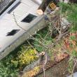 屋根よりも高い 檜の伐採作業 茨城 龍ヶ崎