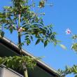 庭の「皇帝ダリア」が咲き始めました。