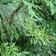 公園で・・ルリシジミの産卵、オオイトトンボ