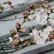 屋根の上の開花宣言か