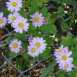 見沼代用水西縁の花々