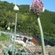 花が咲きそう大玉ニンニクヽ(^o^)丿