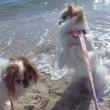 ワンコのベストワン背景は 波・潮風・広ォ~い砂浜!時々知らん子供が乙ですなぁ♪