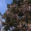 もう桜開花だ~