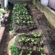 高菜の成長が楽しみです