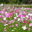 青空を待ち望んで ~ 延岡植物園 2年前のコスモスと青空に 思いを馳せる。