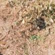 12/8(金) 安納芋掘り上げ & 畑の大掃除へ