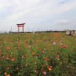 小泉稲荷大鳥居のコスモス2018(その2)