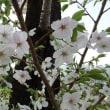 天城吉野桜