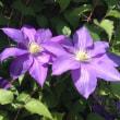 陽気に誘われて、クレマチスも花盛り・・・(花便り・・277・・)
