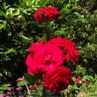 薔薇の手入れ