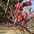 3月17日(土曜日)「桜」(てまりさん)