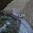 鮎漁のアオサギ