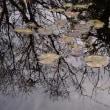 冬木立 ~ モネの庭から(その305)