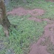 ゆず園に肥料