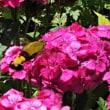 蜂に似た蛾