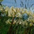 ヒガンバナの開花を追って