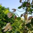 小さい花の方のクレマチス