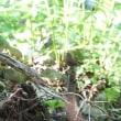 新緑深し、泉ヶ岳山麓探鳥会。