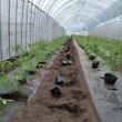トマト植え始める