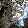 大阪のさくらが見頃です。