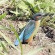 昨日の鳥 カワセミ 幼鳥 イソシギ 6羽位の幼鳥の出入りのシ-ン
