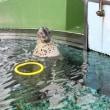 トサシミズサンショウウオ~海洋館