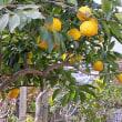 柚子(ゆず)という果実