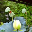 ハスの花・・・2