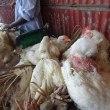 H1N1騒動のミャンマーで鳥のH5N1も同時発