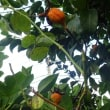 無花果の季節