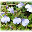 春の野の花(^^♪鷺が飛んでいるように見える小さな紫の花「ムラサキサギゴケ(紫鷺苔)」