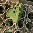今日もブドウスカクロバの幼虫を潰しいます。