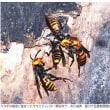 今日以降使えるダジャレ『2076』【科学】■スズメバチ撃退する成分発見…花の香りに含有