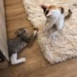 可愛い仔猫たちのご紹介です(=^..^=)