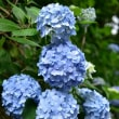 紫陽花の季節2・・・【いな】