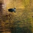 松尾池の鴨(前)