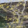 春1番、山で咲く黄色い花。