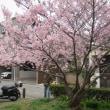 雛八丈桜(ヒナハチジョウサクラ) ~ 八つ松公園 ~