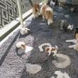 パピヨン・みんなと一緒に遊びます。