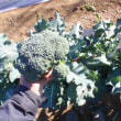 今日も白菜13個を収穫