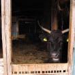 ブランド牛の限界