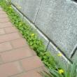 ジシバリ:雑草