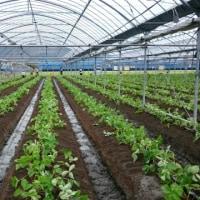 イチゴの苗植え体験会