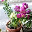 2年目のストックの花