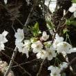 ミシマサクラ(三島桜)