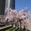 大川の桜 2018