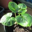 バルコンで野菜栽培